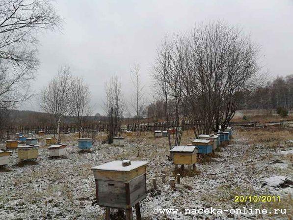 Пчёлы выбрасывают трутней