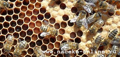 "Мои пчёлки ""дворняжки""..."